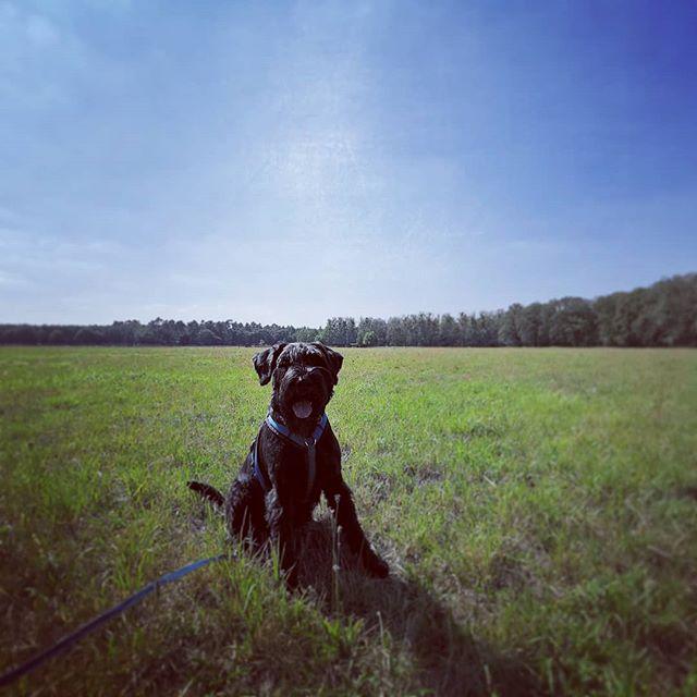 Unterwegs mit Jette ☀️ #riesenschnauzer #giantschnauzer #schnauzer #dogs #dog #dogstagram #dogsofinstagram #hund #hunde #falkensee #dogtrainer #dogwalker #nature #summer
