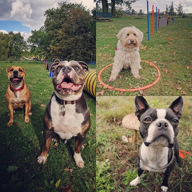 Was für ein geiler Tag! Mit Brutus habe ich die Felder und Wälder von Fahrland erkundet, Oskar's Parkour wird immer komplexer UND endlich, meine Molosser-Gebete wurden erhört: Zwei neue Bulldoggen! 😎 #oeb #oldenglishbulldog #bulldog #rottweiler #oebmix #bostonterrier #tierschutzhund #dogwalker #dogtrainer #agility #fahrland #potsdam