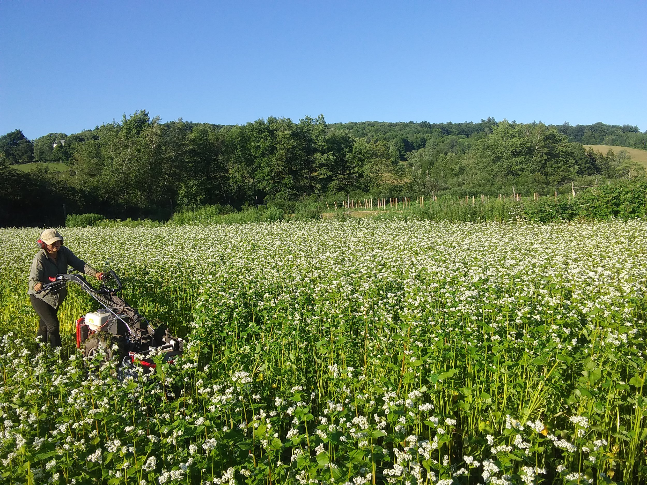 Erica mowing a stand of buckwheat cover crop. Watch Erica's buckwheat music video  here.