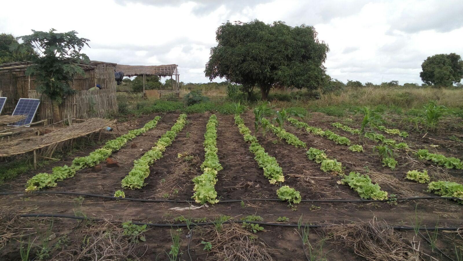 Drip Irrigation Lettuce.jpg