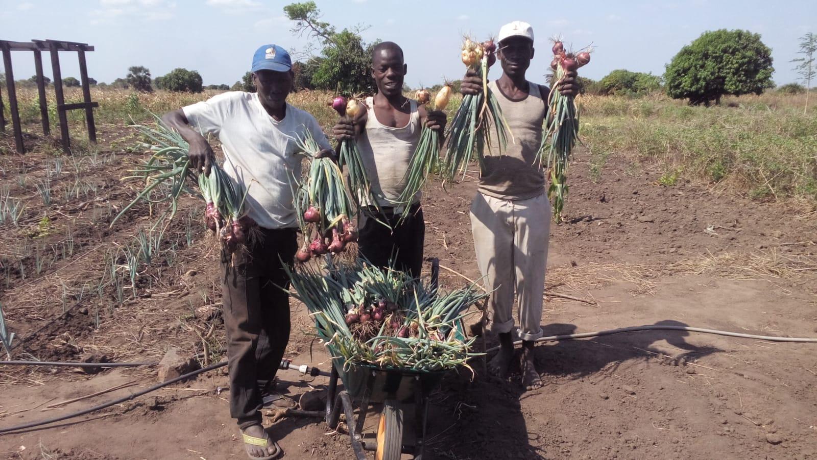 Onion Harvest.jpg