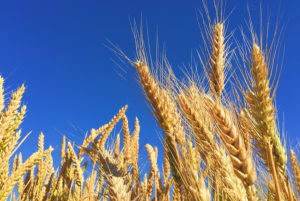 Wheat_Is-Gluten-Free-Better-For-you_Article-1-300x201.jpg