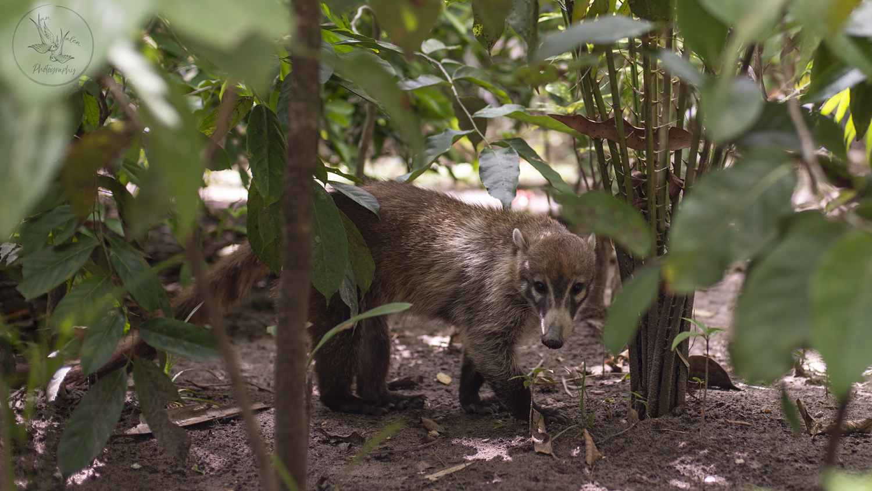 wild coati