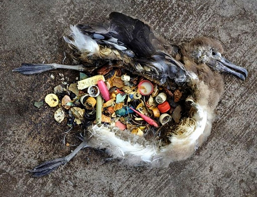 Albatross chick.Photo: Chris Jordan