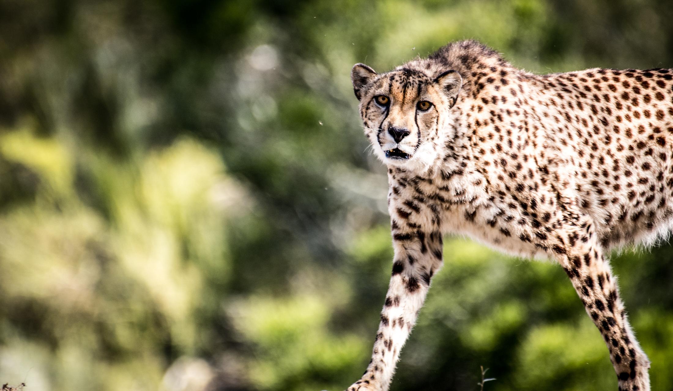 500mm handheld f5.6 640sec_leopard.jpg