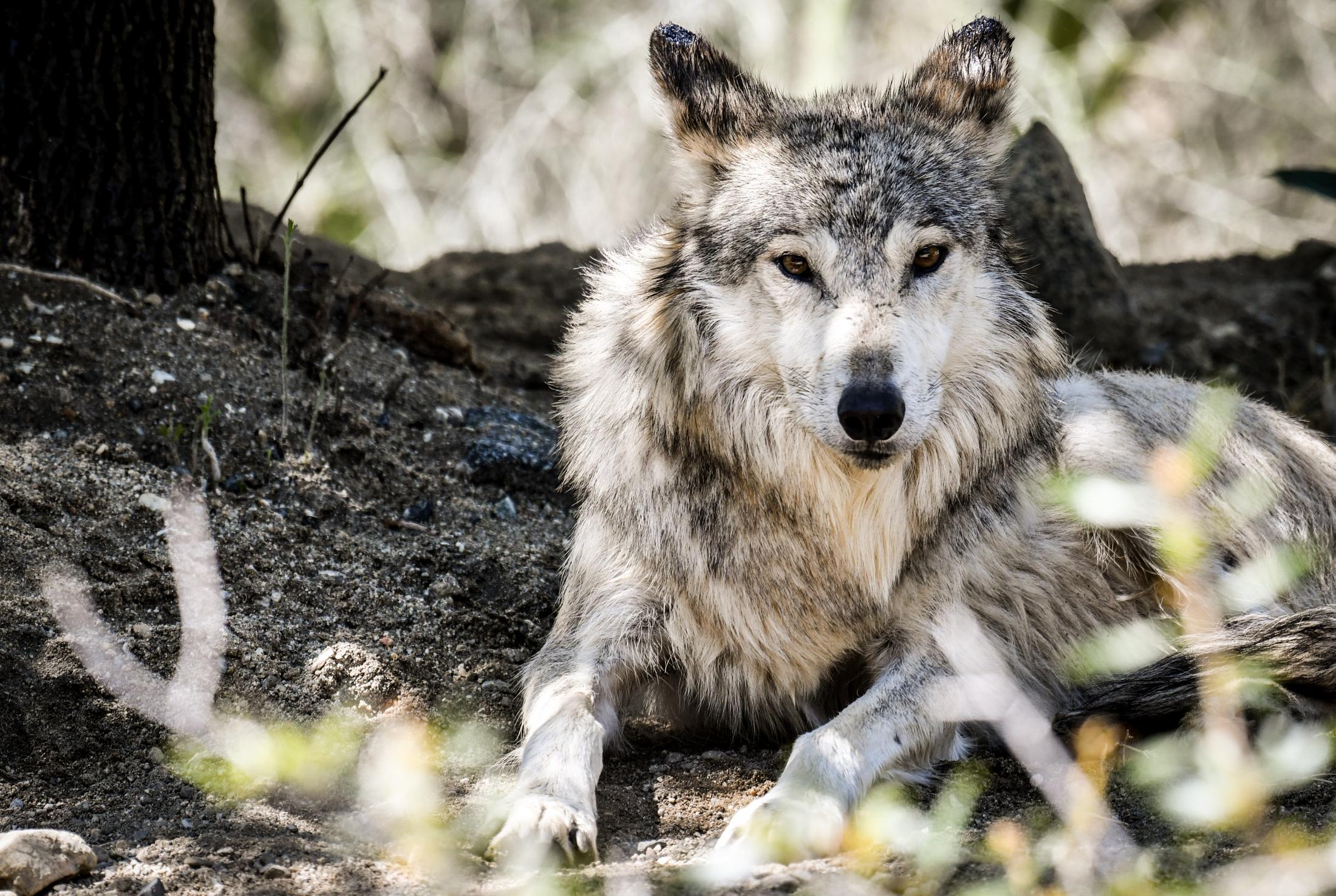 f5.6_640_330mm mexican wolf.jpg