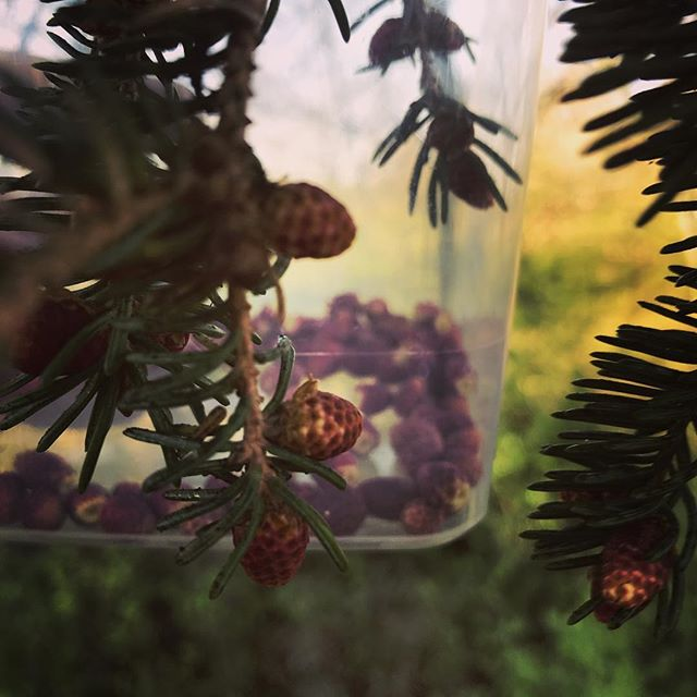 Picking pineflowers for the vinter #wildfood #wild #yum #chef #pine