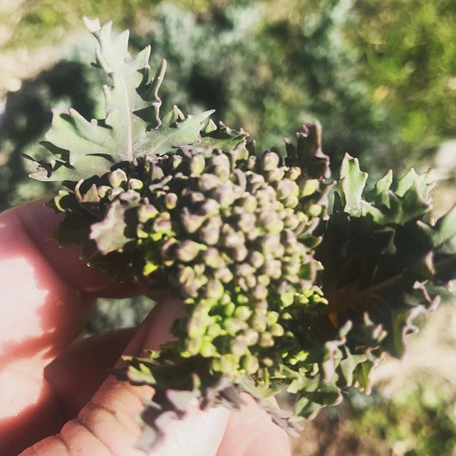 Sea kale flowering- love these babies ❤️🌿 #wildfood #chef #cheflife #yum #yumyum #kale #beachkale #beachfood #nordicfood
