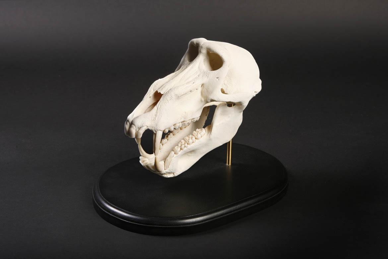 White Baboon Skull.jpg
