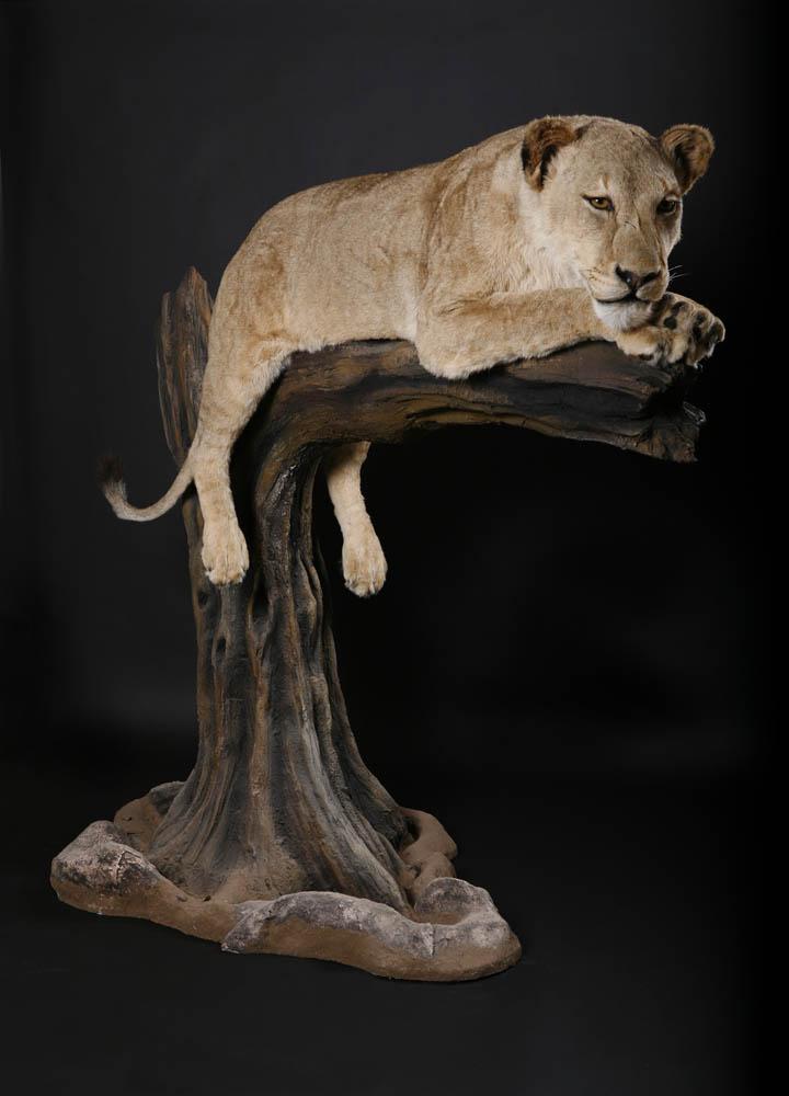 Lioness in tree1.jpg