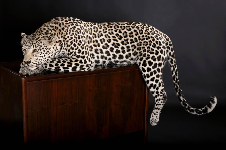 Leopard on desk.jpg