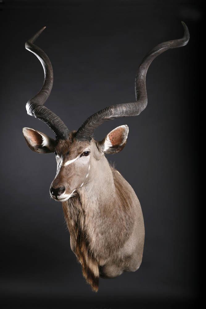 Kudu Shoulder mount2.jpg