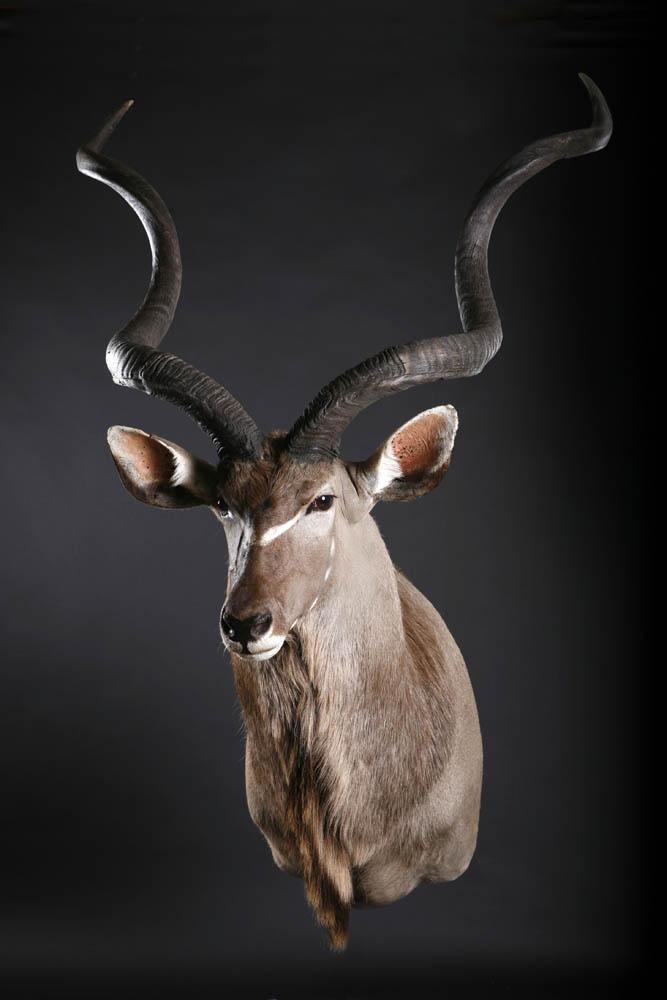 Kudu Shoulder mount1.jpg