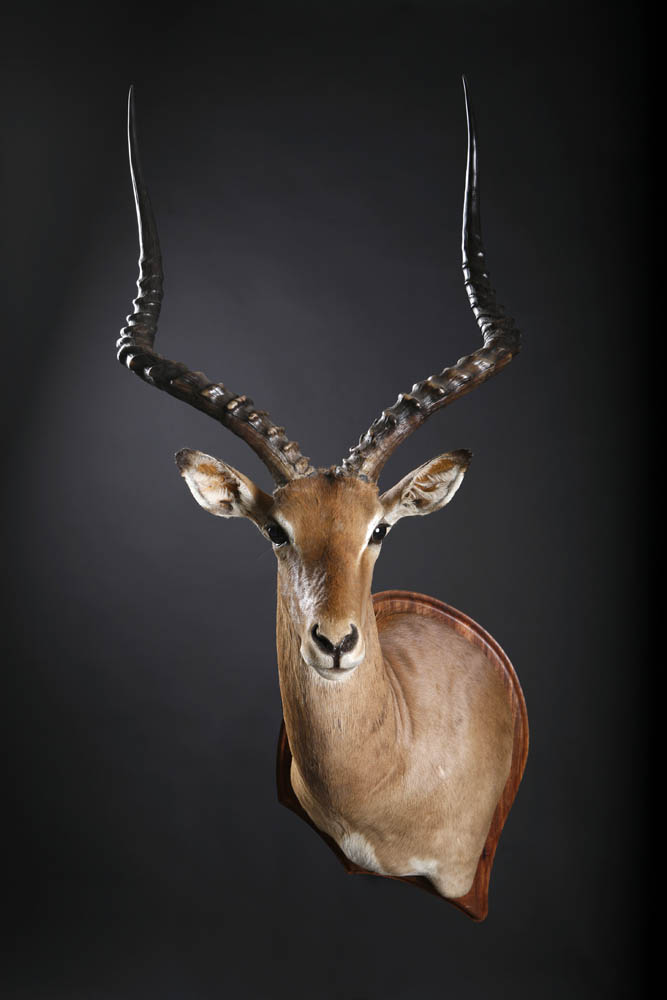 Impala Drop Shoulder.jpg