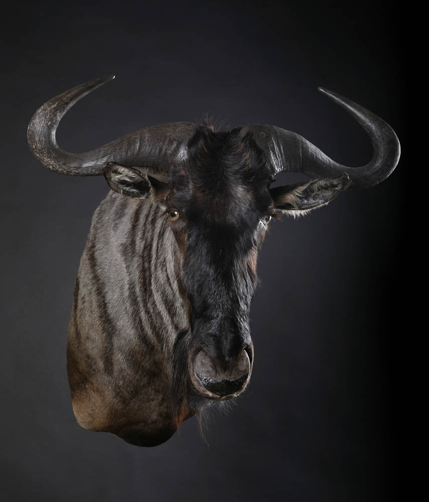 B_wildebeest Shoulder.jpg