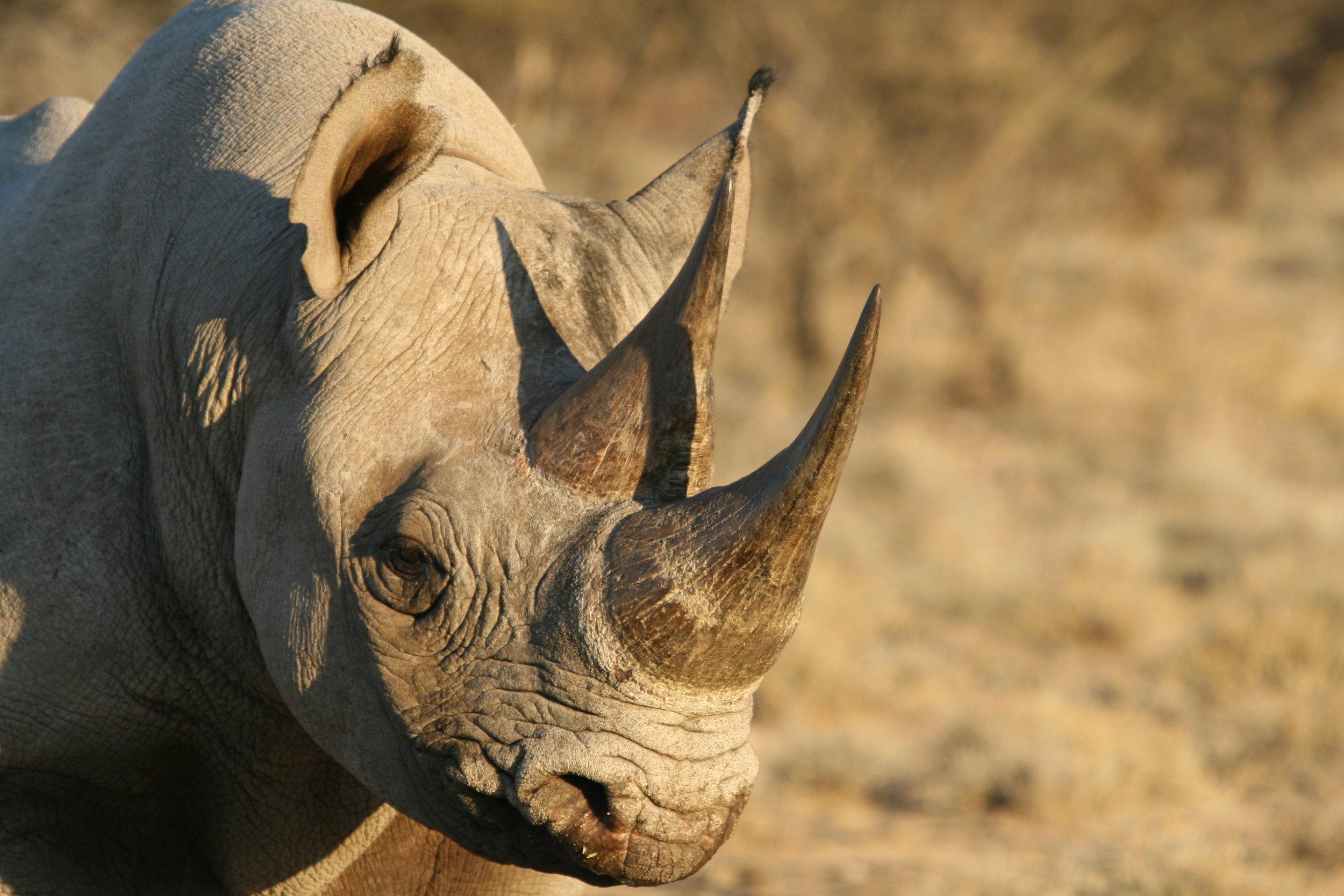 Black Rhino Young Bull 150707 - 47.jpg