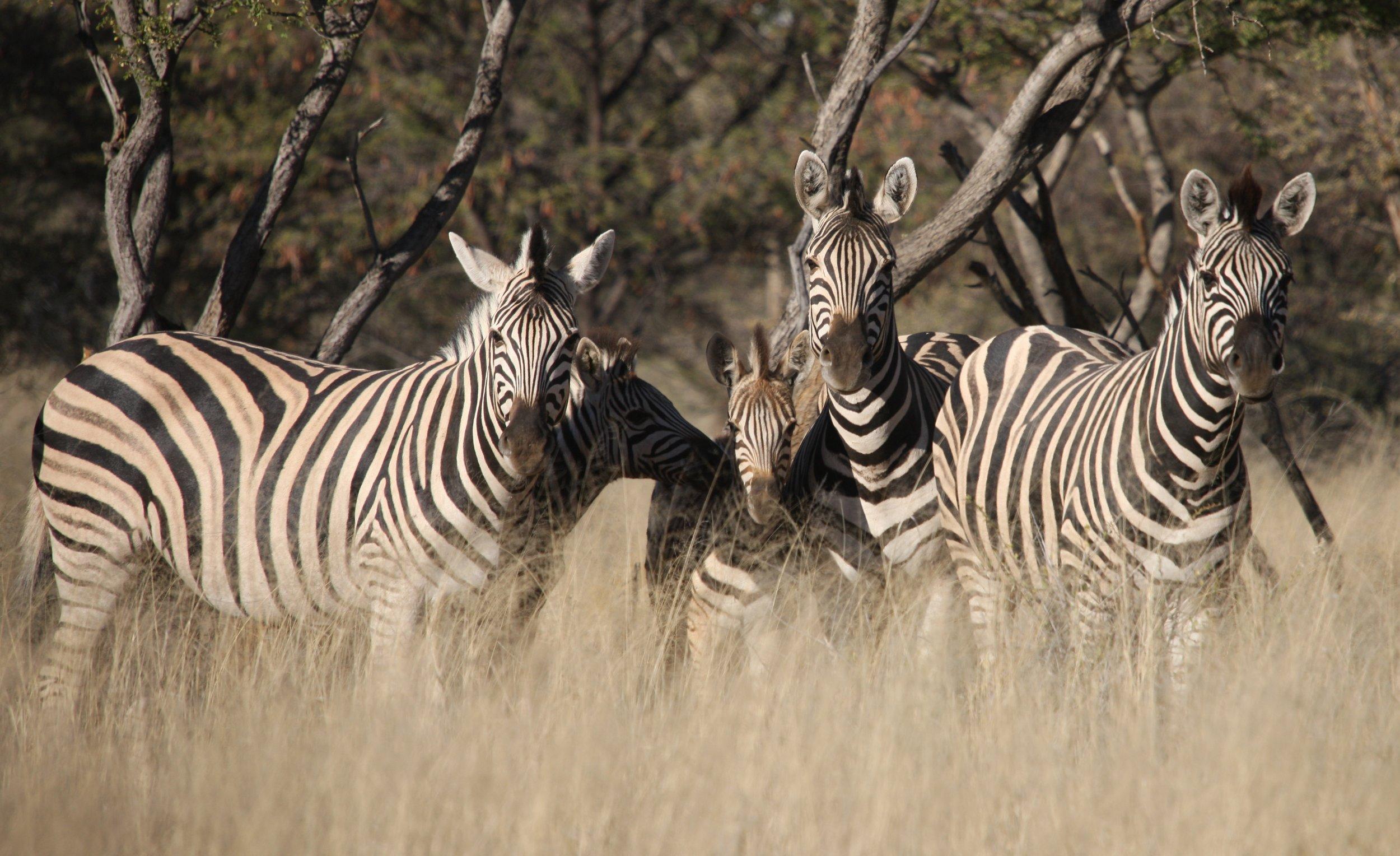 Burchell Zebra 3.jpg