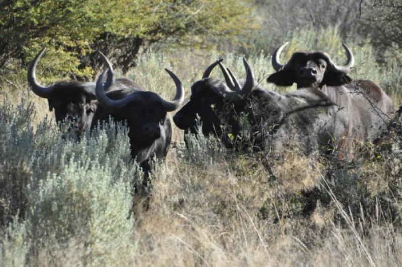 Hunt Sout Africa Kalahari Lion hunting103.jpg