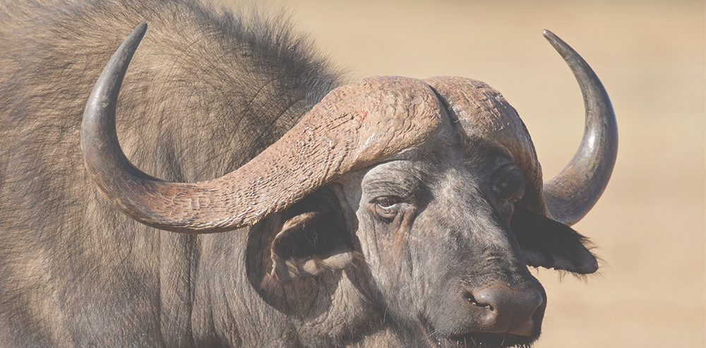 CAPE BUFFALO HUNTING -