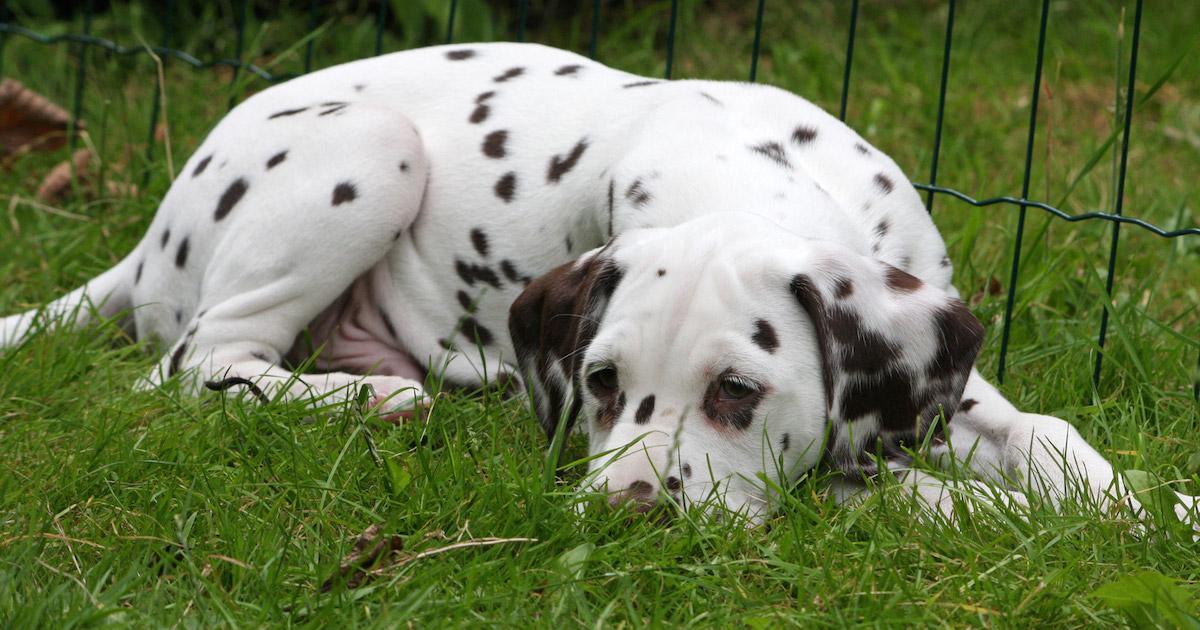 dalmatian-puppy-dog.jpg