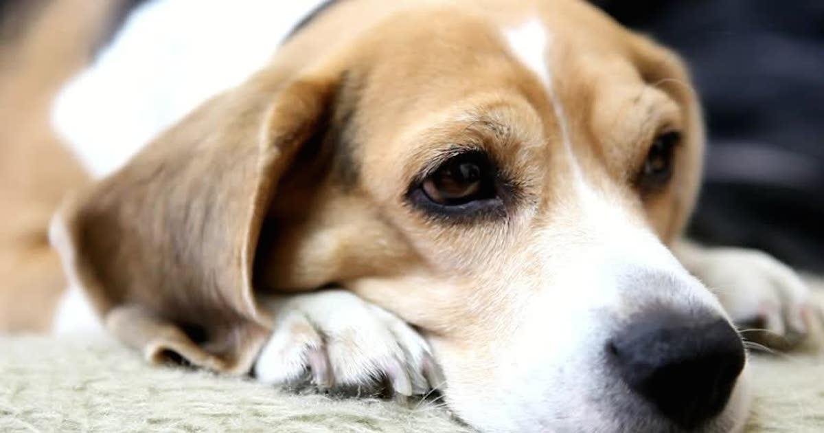 Cute Beagle.jpg