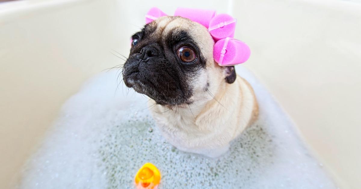 pug-wants-a-bath-video.jpg