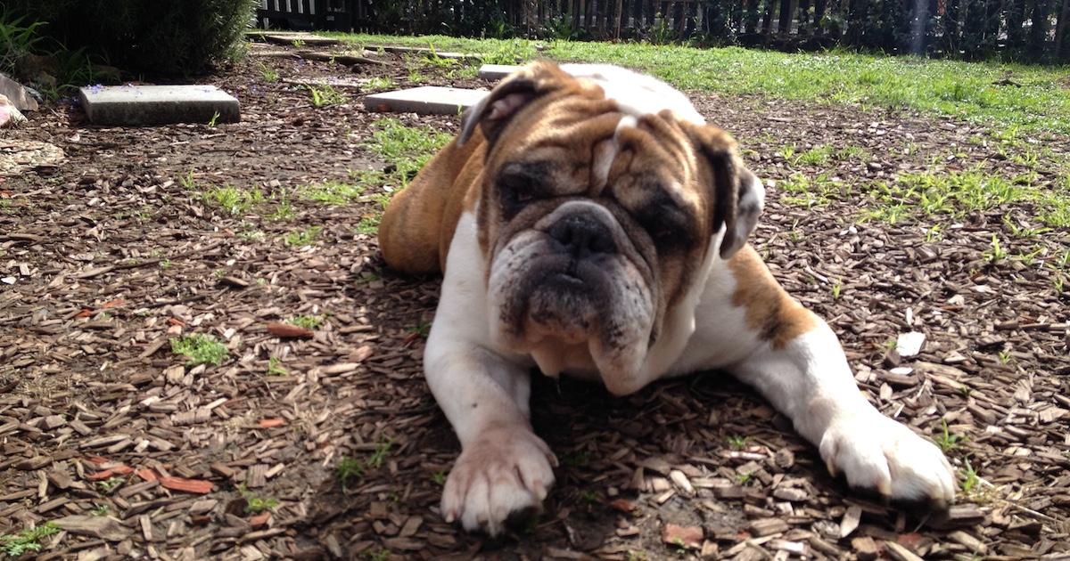 Reluctant Bulldog.jpg