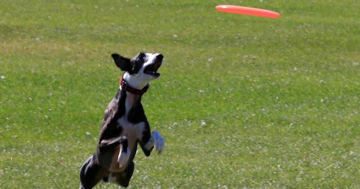 Dog Catching Frisbee.jpg