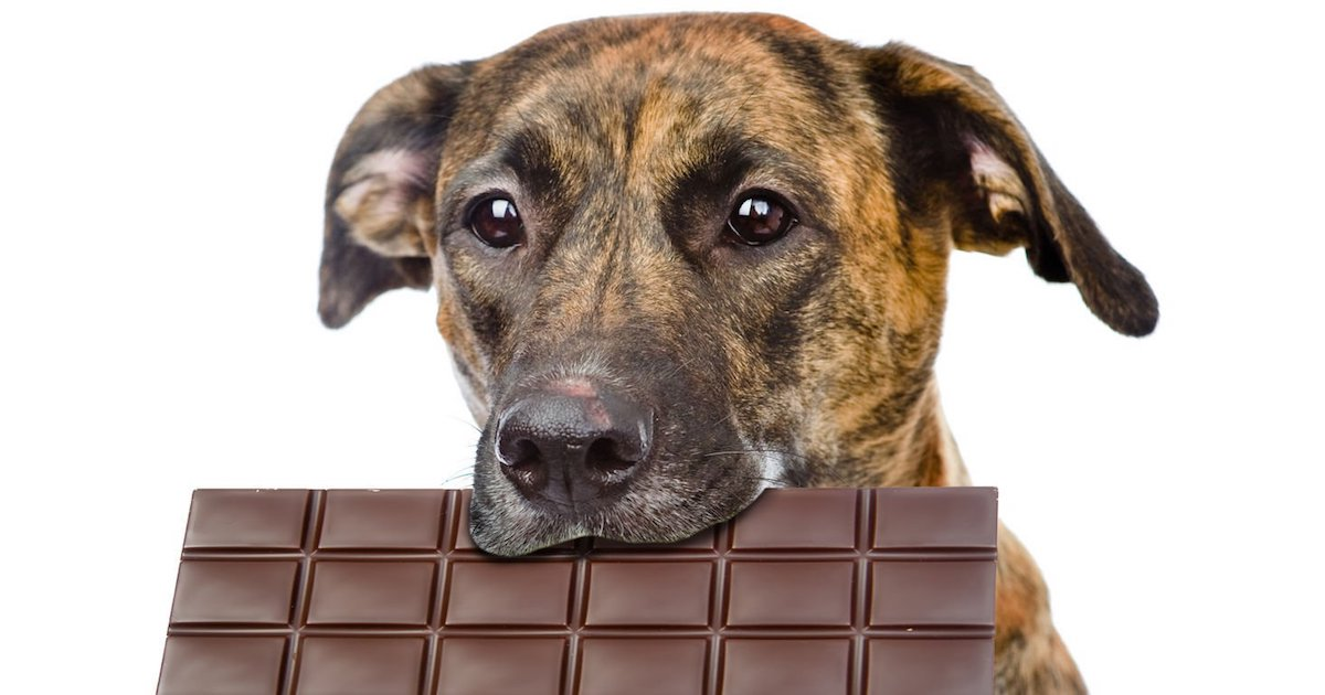 Dog says f it eats chocolate.jpg