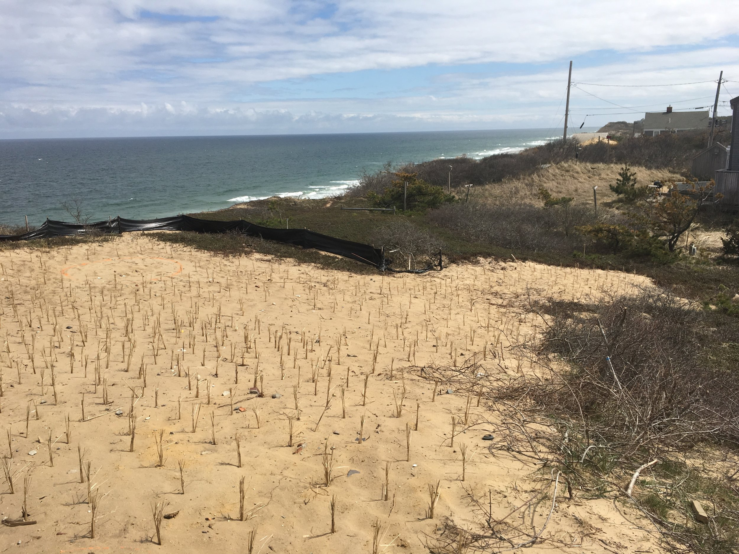 DURING: View of newly planted beachgrass