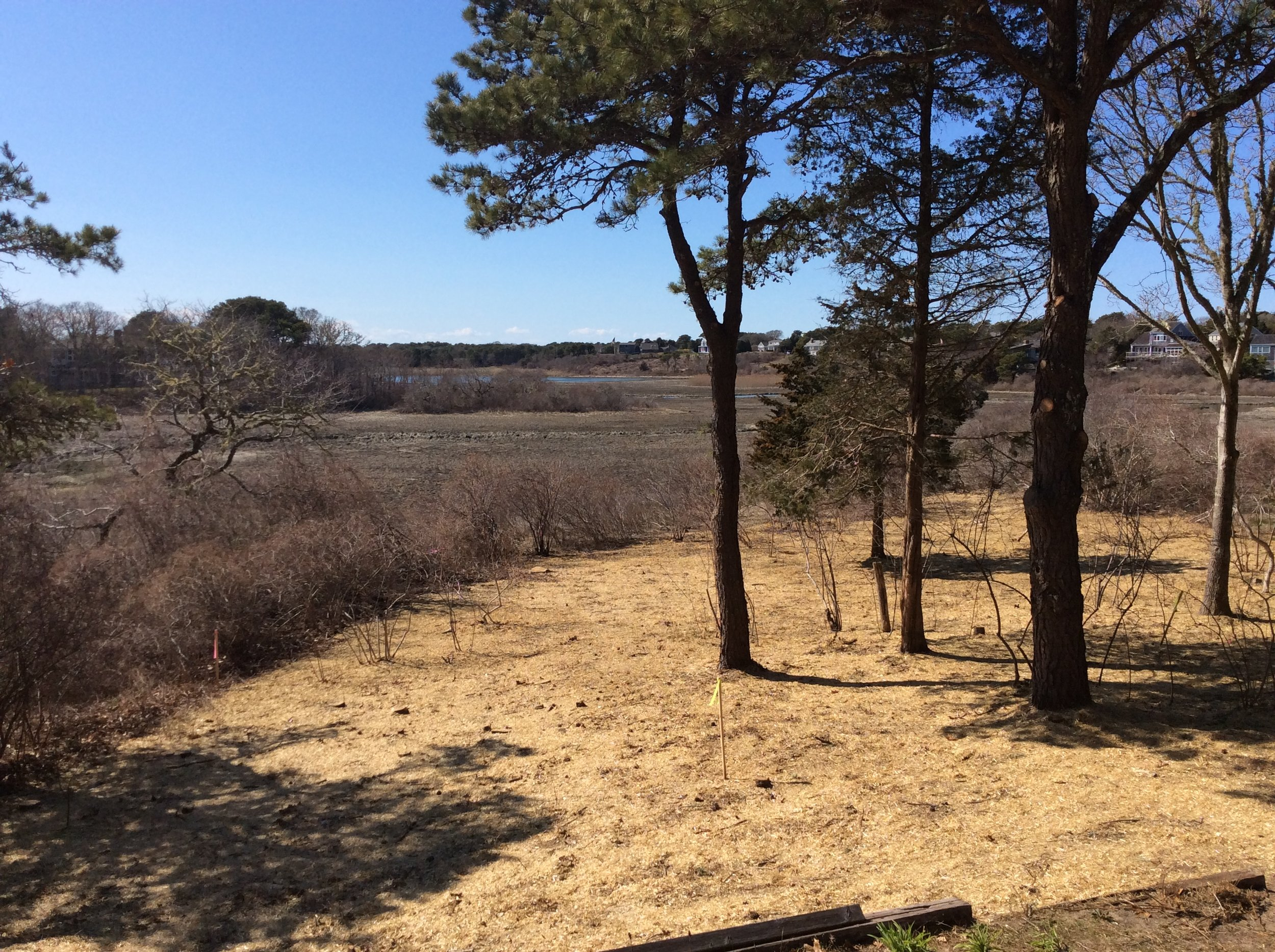 DURING: View of management area after invasive species have been removed, area has been seeded with native grass and wildflower mix