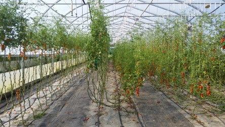 Greenhouse tomato vines.jpg