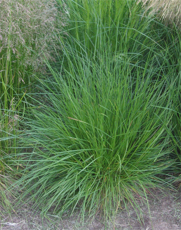 Ruwe_smele_plant_Deschampsia_cespitosa.jpg