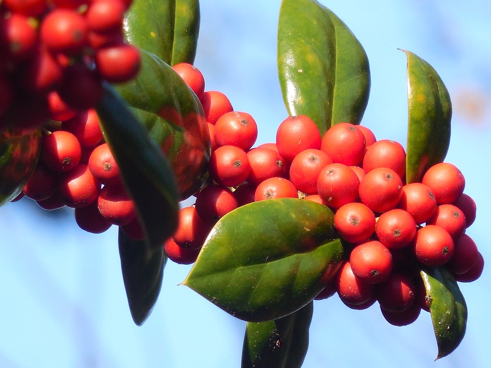 Winter Red Winterberry.jpg