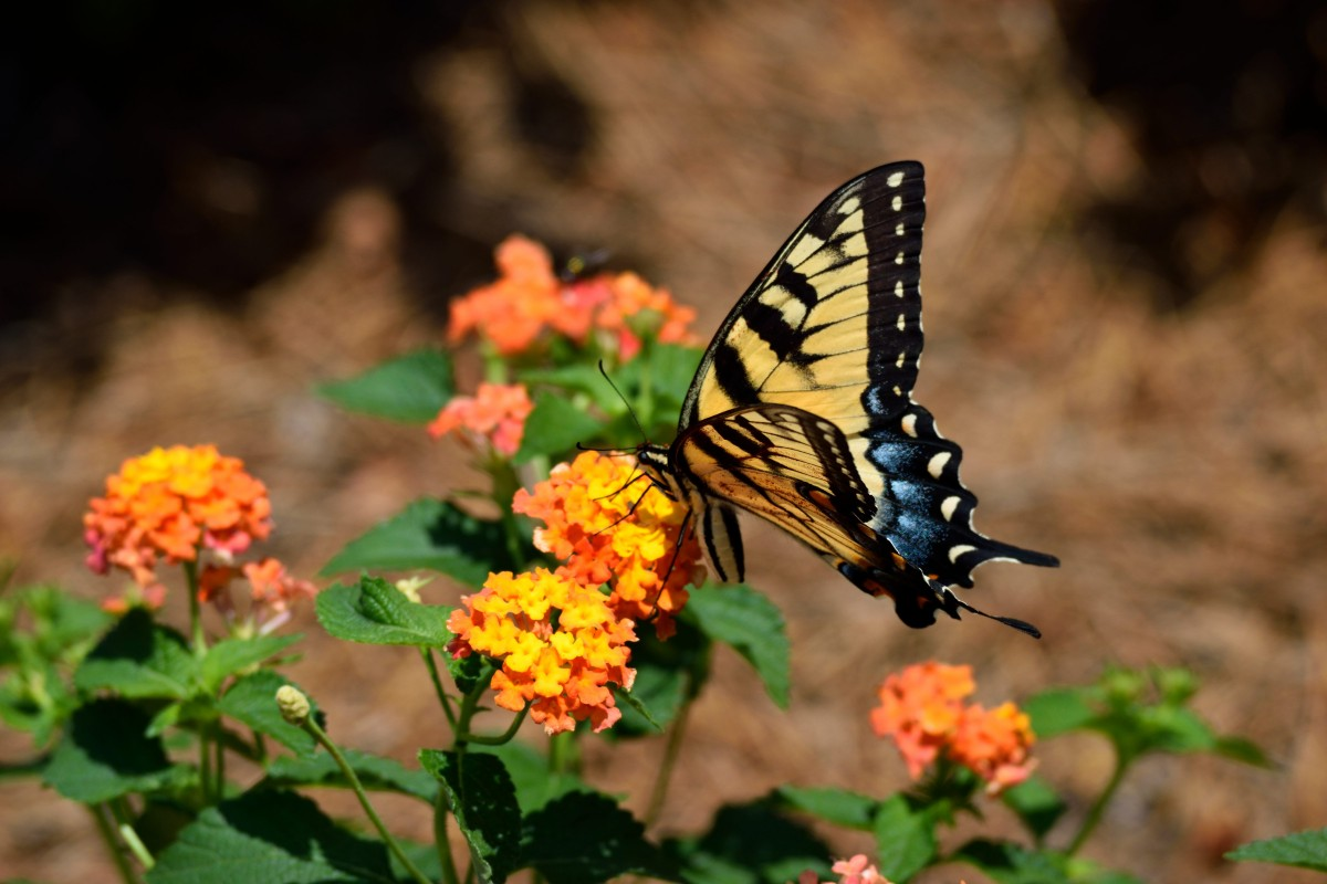 This tiger swallowtail is enjoying sipping nectar from an orange lantana.