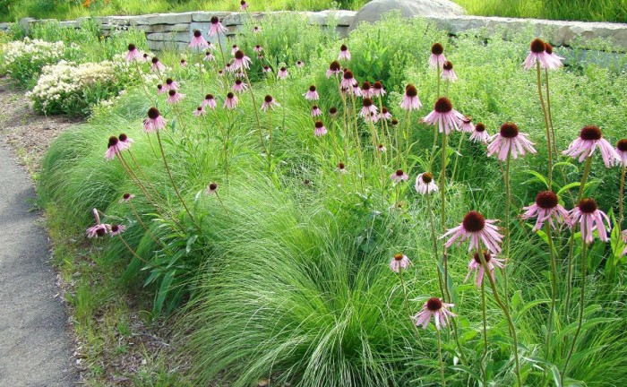 Native prairie dropseed is an elegant, mid-height grass that blends beautifully with wildflowers and other native grasses.