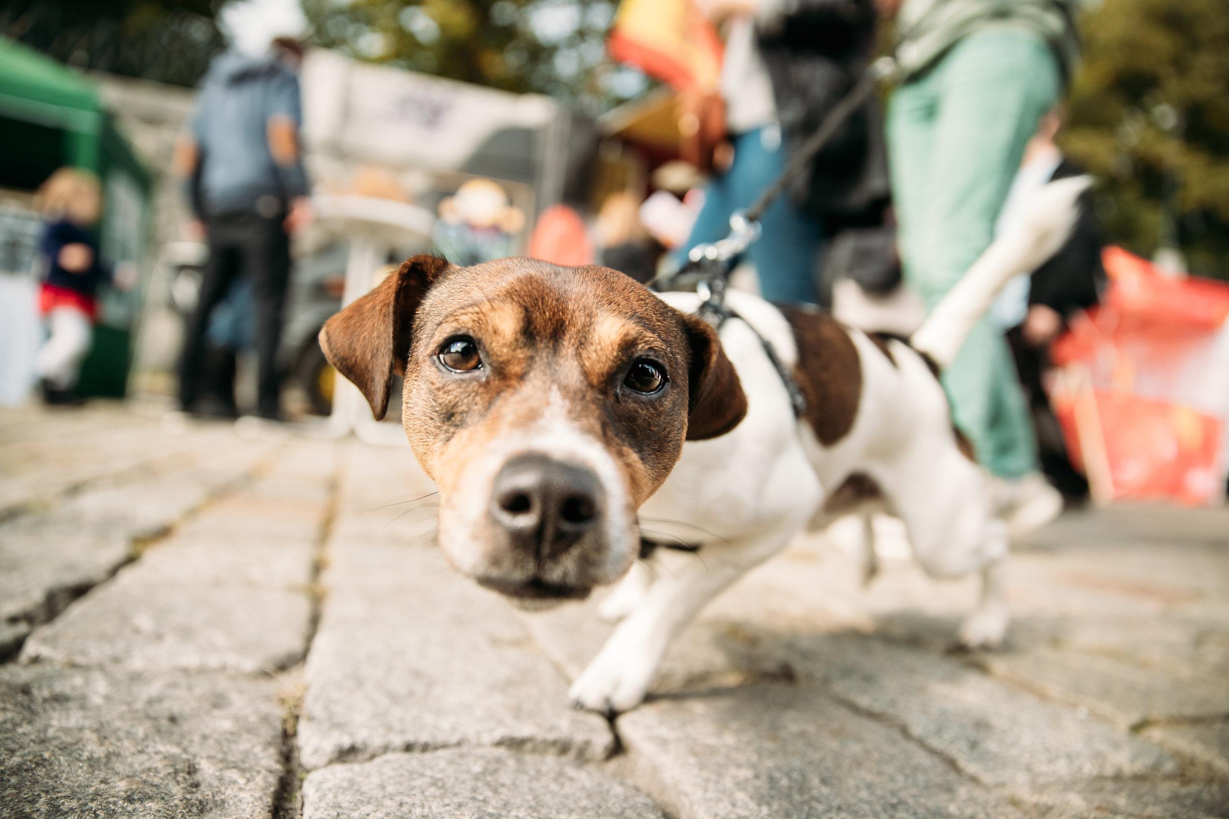 funny-jack-russell-terrier-dog-walks-down-street-QBWNF6E.jpg