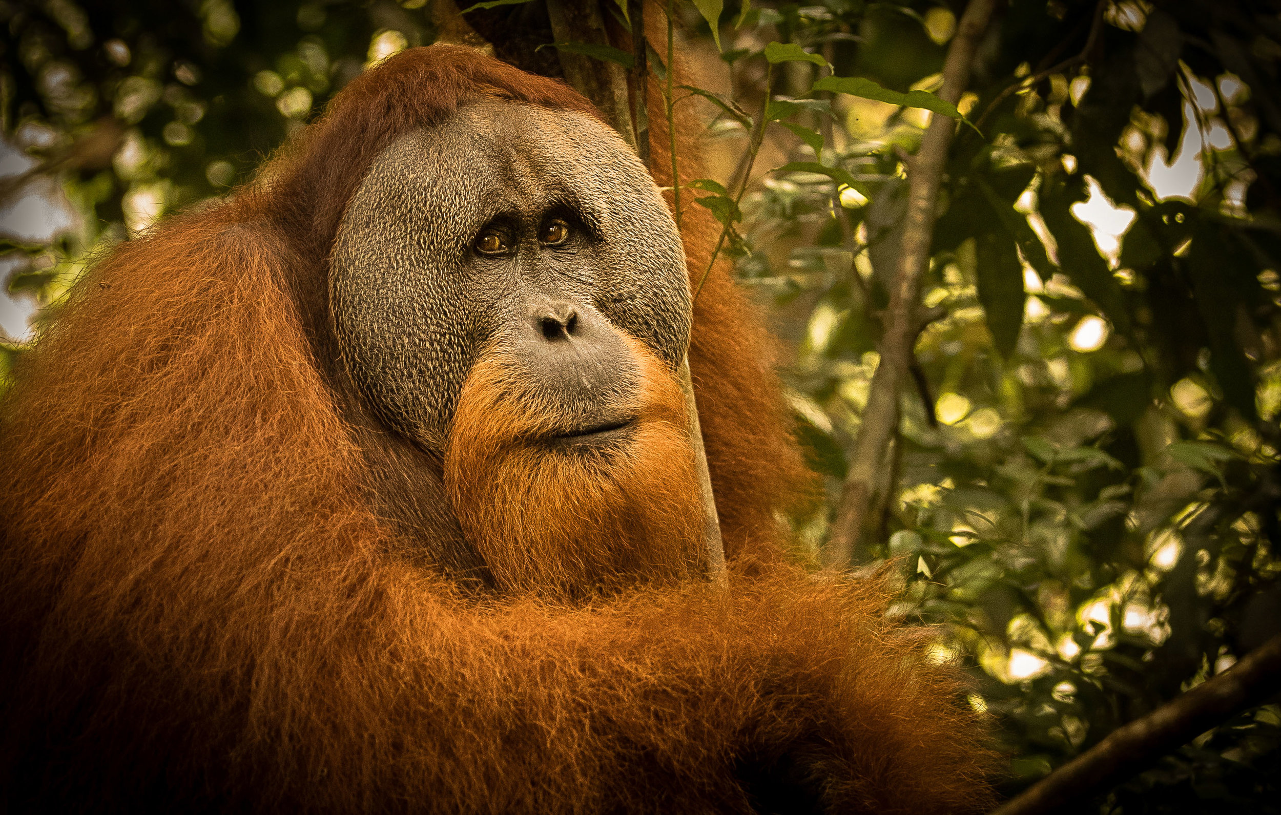 Male orangutan sits in a tree with soulful eyes from the series Broken Paradise in Gunung Leuser National Park, Northern Sumatra, Indonesia. It is easy to feel a kinship with orangutans when looking into their soulful eyes and observing their socially complex behavior. Perhaps that's because orangutans and humans share 97 percent of their DNA. The Sumatran orangutan is at extreme risk of becoming the first great ape to go extinct in the wild. The last major stands of habitat for the Sumatran orangutan are found in the Leuser Ecosystem, which supports about 75 percent of the world's remaining population. Awarded the 2019 International Color Awards in the category Wildlife.