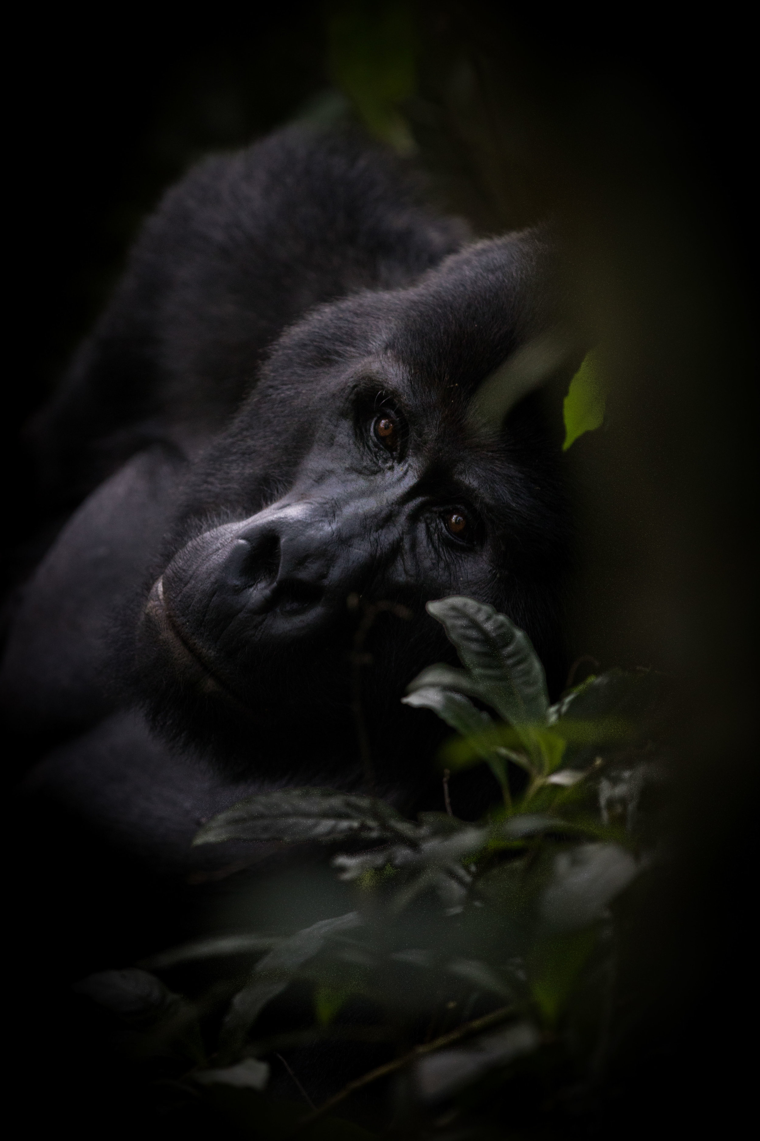 Male silverback waking from a nap against a tree in Bwindi National Park, Uganda. The Bwindi National Park is one of the last remaining habitats in the world for the endangered Mountain Gorilla. The Mountain Gorilla is a highly endangered species and only about 600 are still alive today.