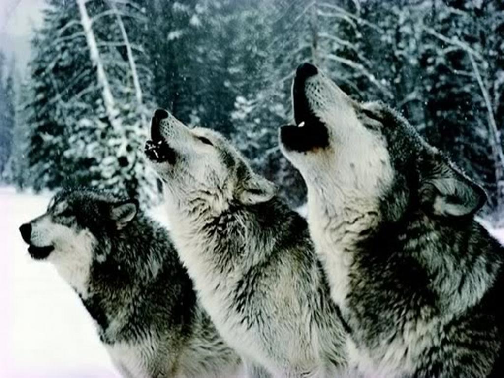 wolves 2.jpg