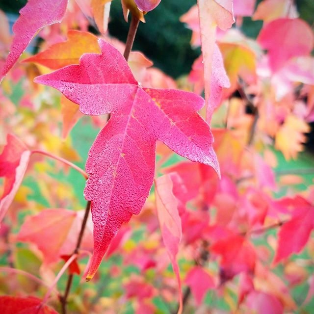 Autumn arrives, after a long, hot, dry summer in Atlanta.  #autumn #fallleaves #maple #tree #red