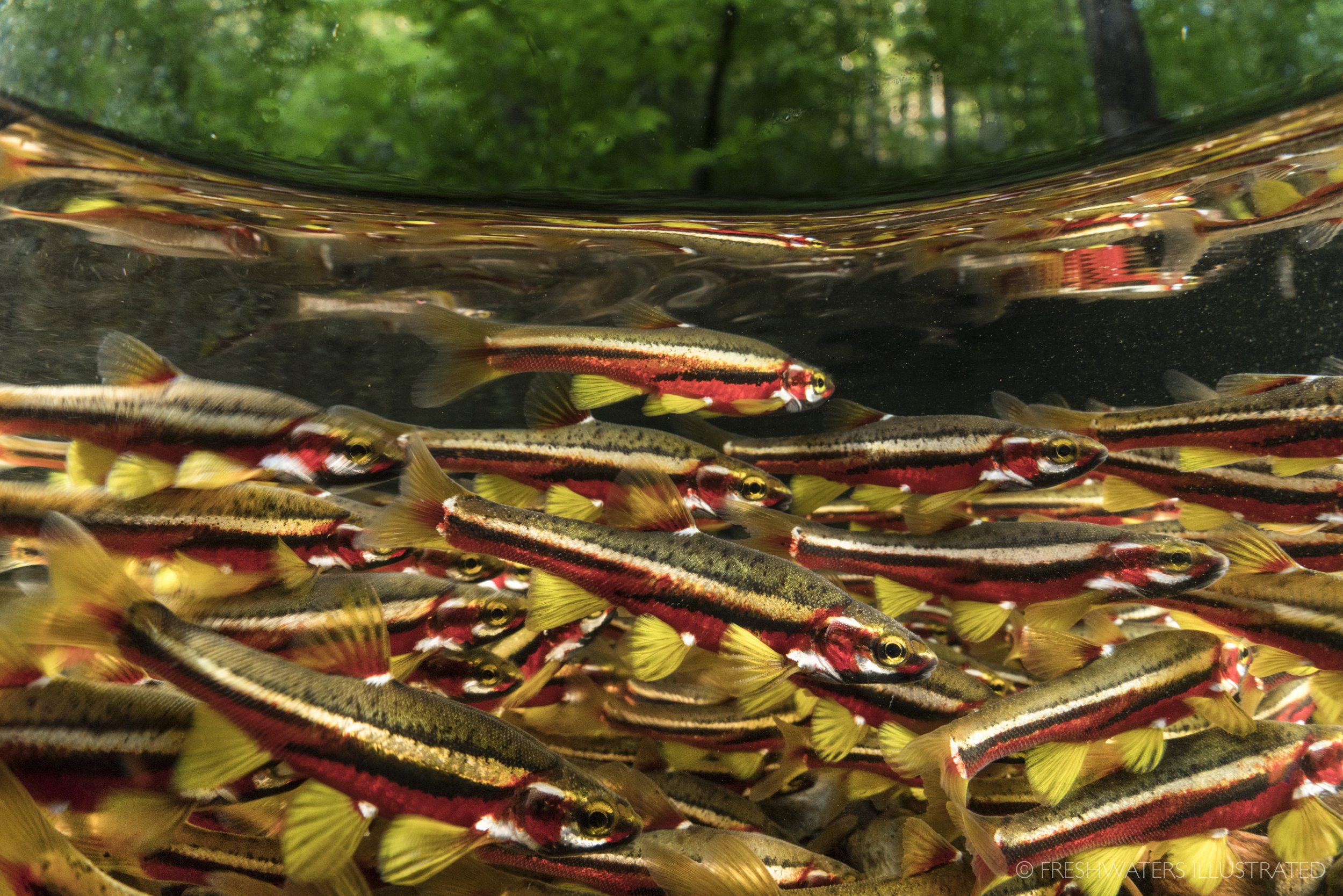 Large aggregation of spawning Tennessee Dace (Chrosomus tennesseensis). Smith Creek, Tennessee  www.FreshwatersIllustrated.org
