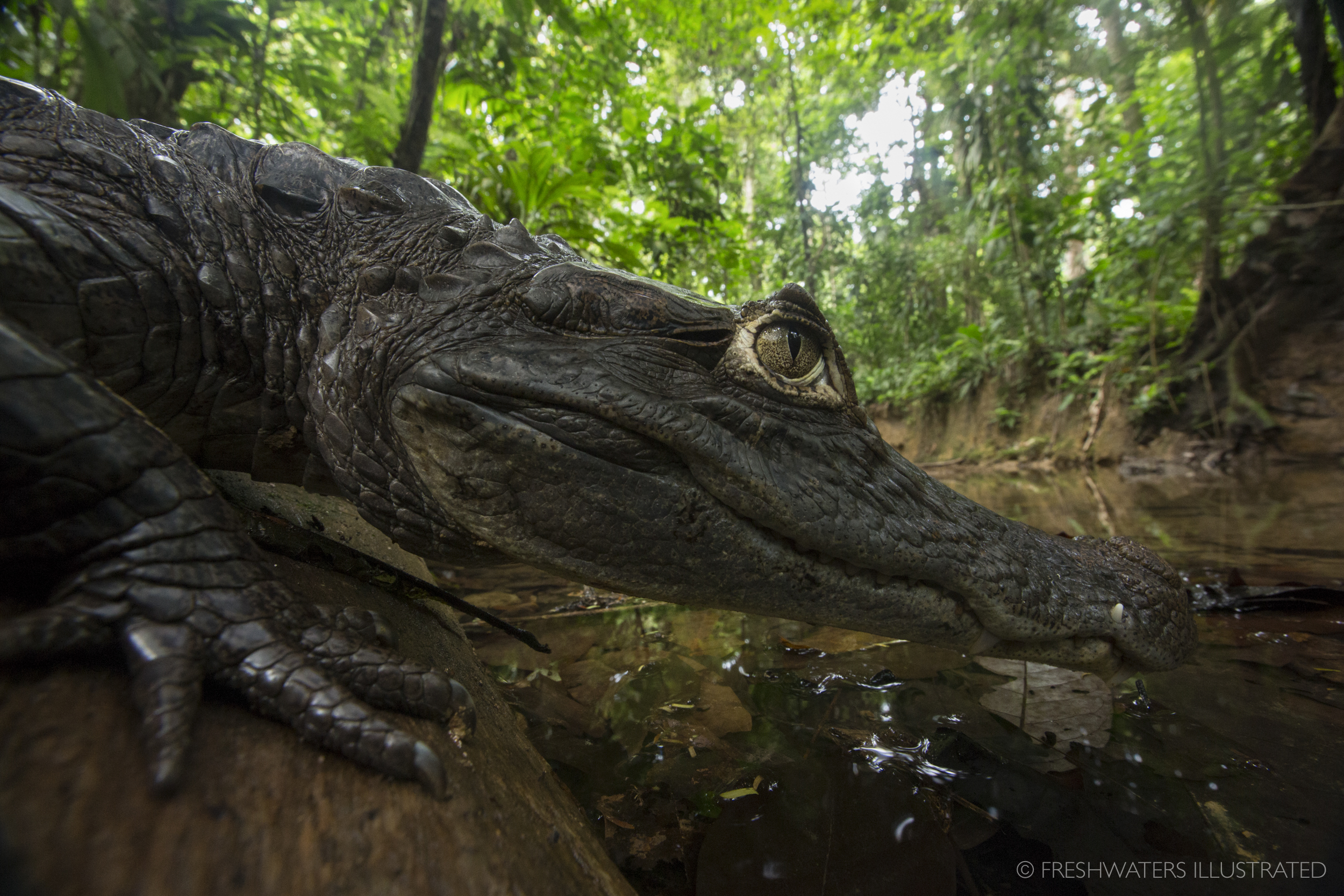 Spectacled caiman (Caiman crocodilus) resting on the bank Creek Azul, Costa Rica