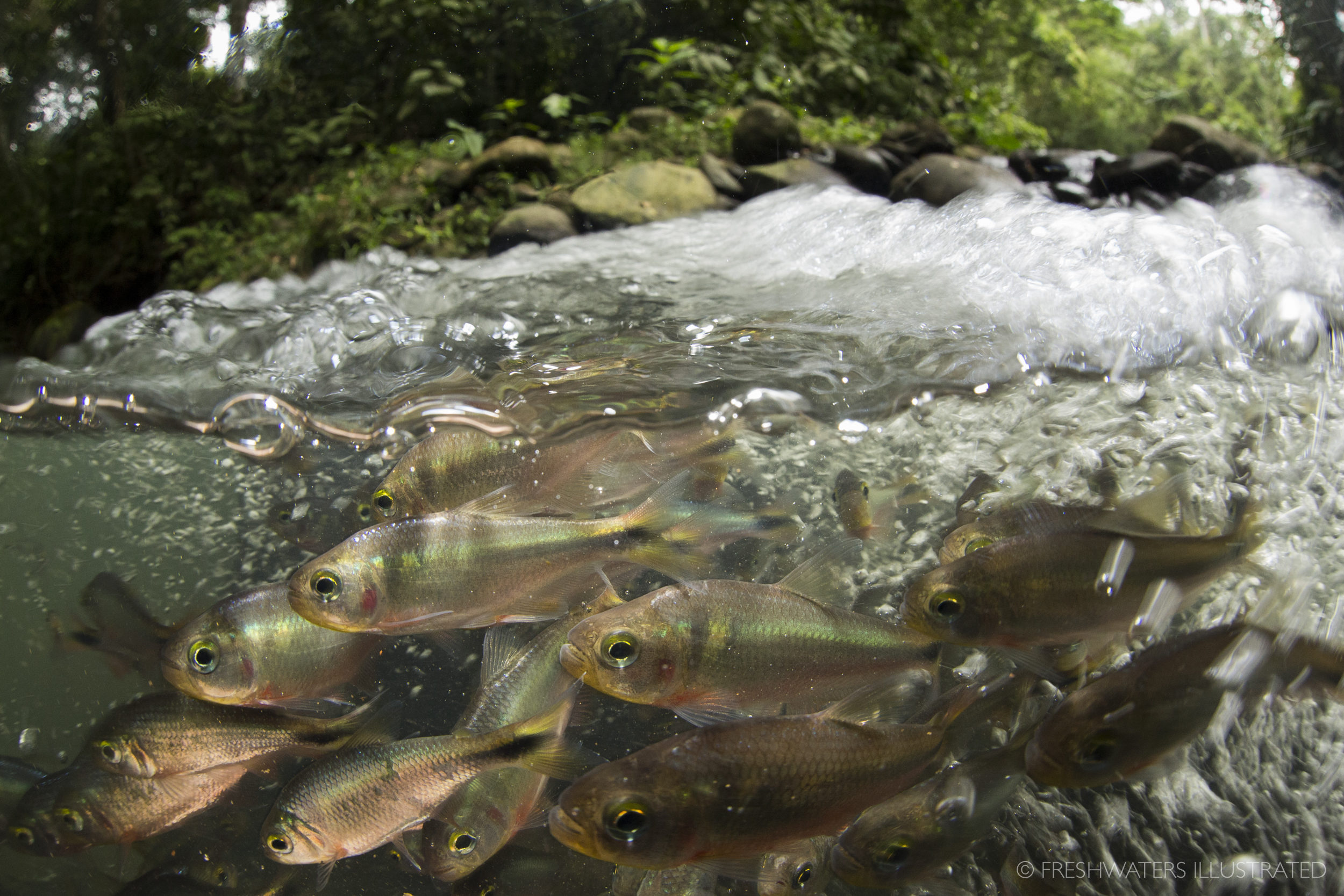 Rio Carbon, Costa Rica Schooling Creek Tetra (Bryconamericus scleroparius)