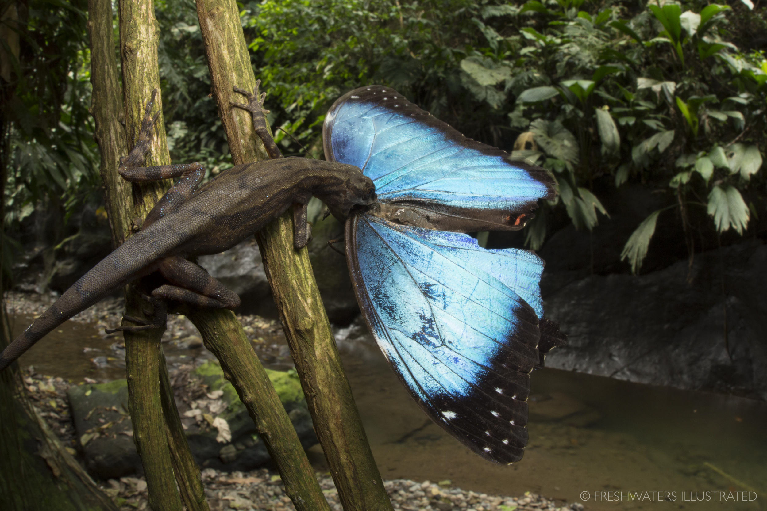 Stream anole (Norops oxylophus) eating a blue morpho butterfly (Morpho sp.) Rio Carbon, Costa Rica