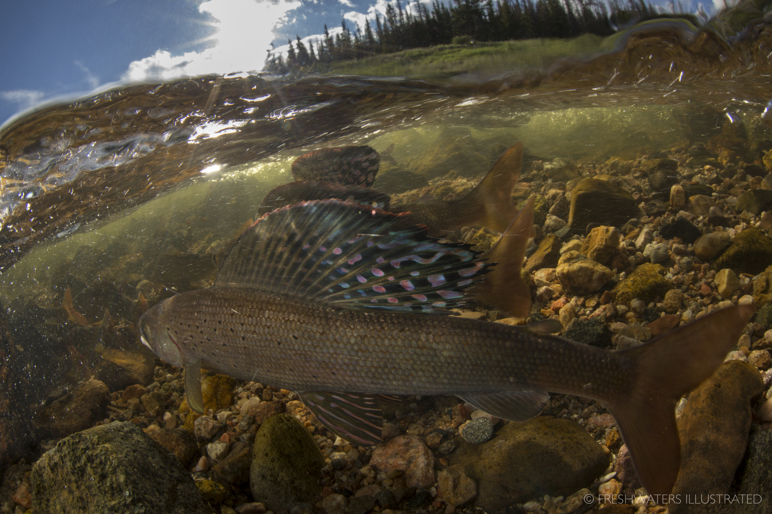 Male arctic grayling (Thymallus arcticus) raise thier large dorsal fins as they fight for prime spawning habitat. Joe Wright Creek, Colorado  www.FreshwatersIllustrated.org