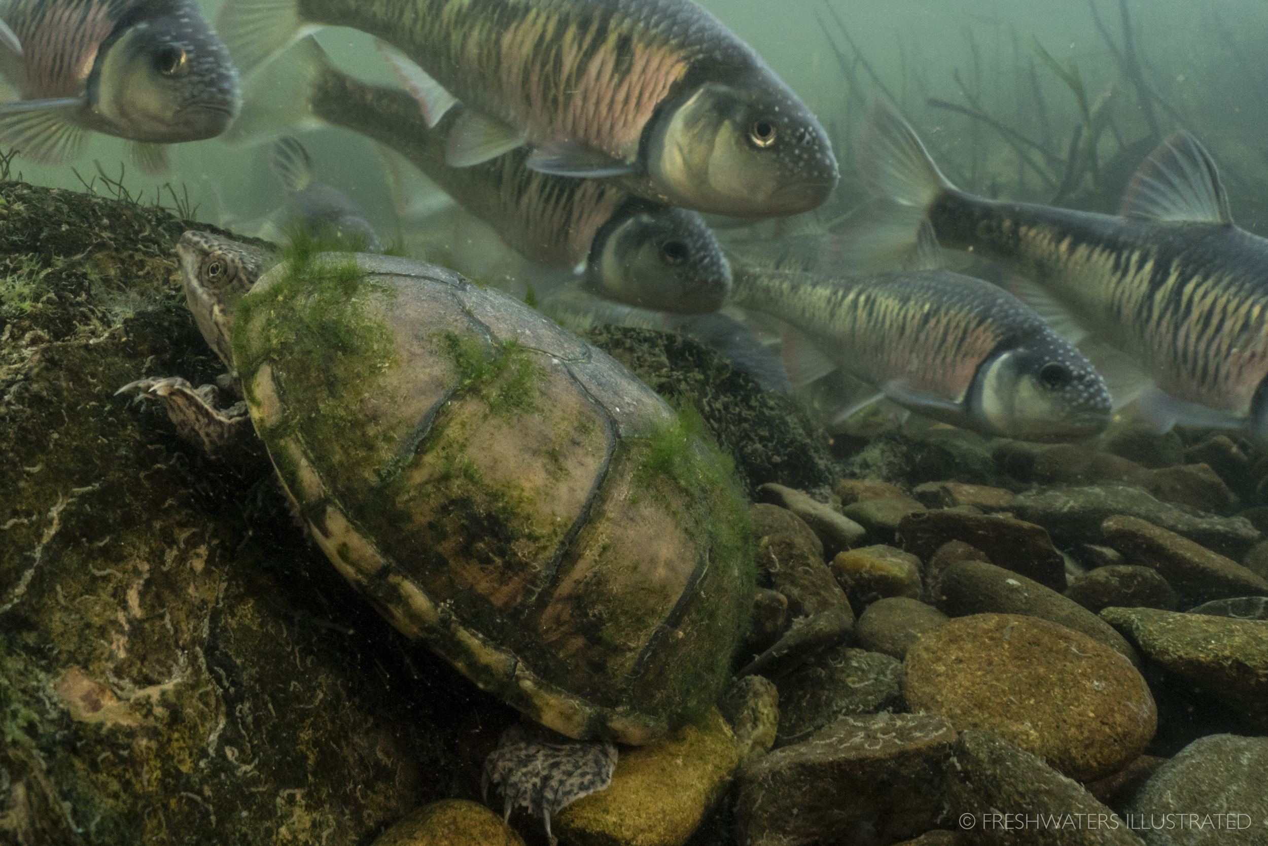 A curious musk turtle (Sternotherus odoratus) sneaks past a school of spawning striped shiners (Luxilus chrysocephalus). Little River, Tennessee  www.FreshwatersIllustrated.org
