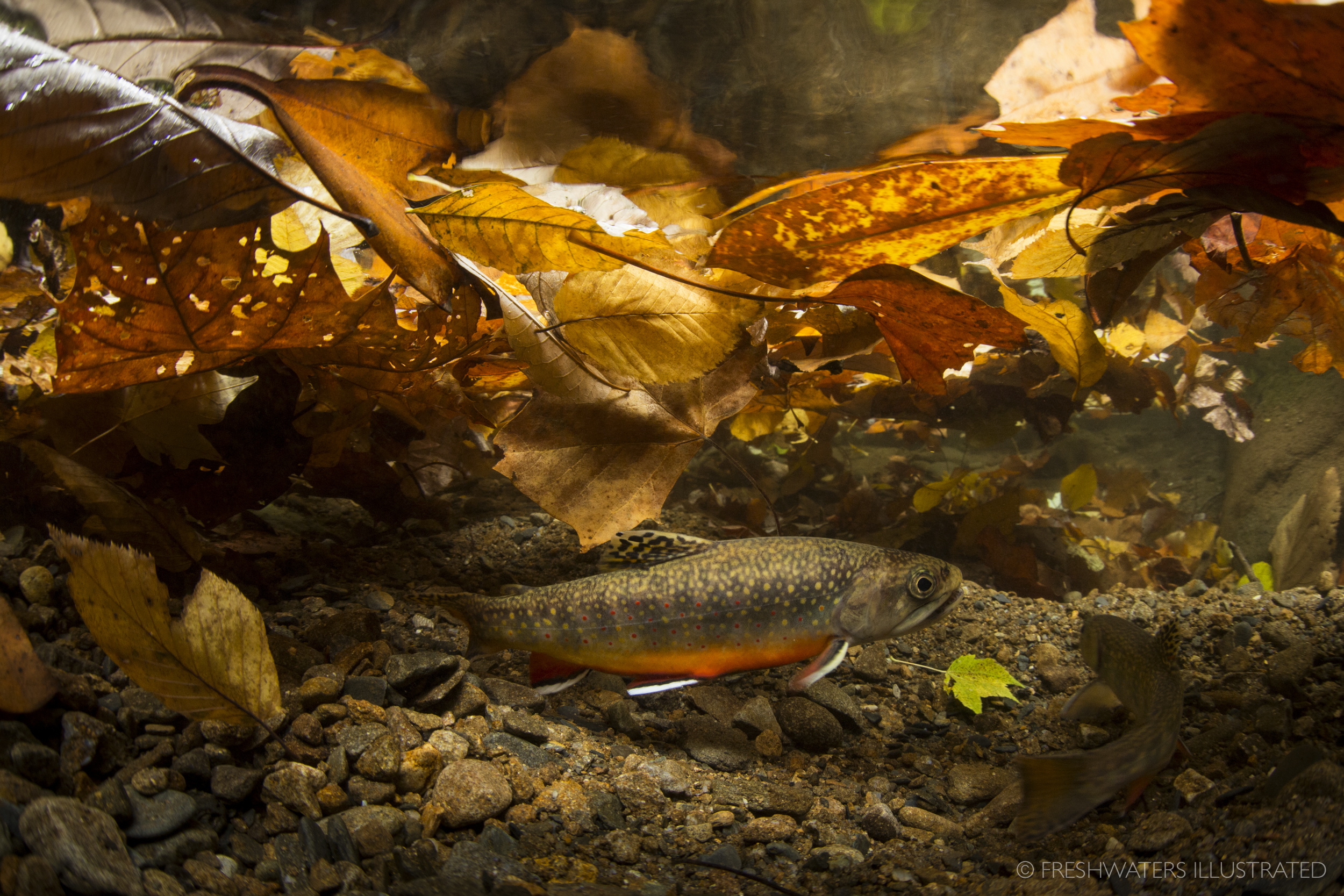 Hidden beneath a layer of freshly fallen leaves a pair of Southern Appalachian brook trout perform their annual mating courtship in the Great Smoky Mountains National Park. Nearly wiped out, these iconic fish are now making a comeback. Smoky Mountain National Park, Tennessee  www.FreshwatersIllustrated.org