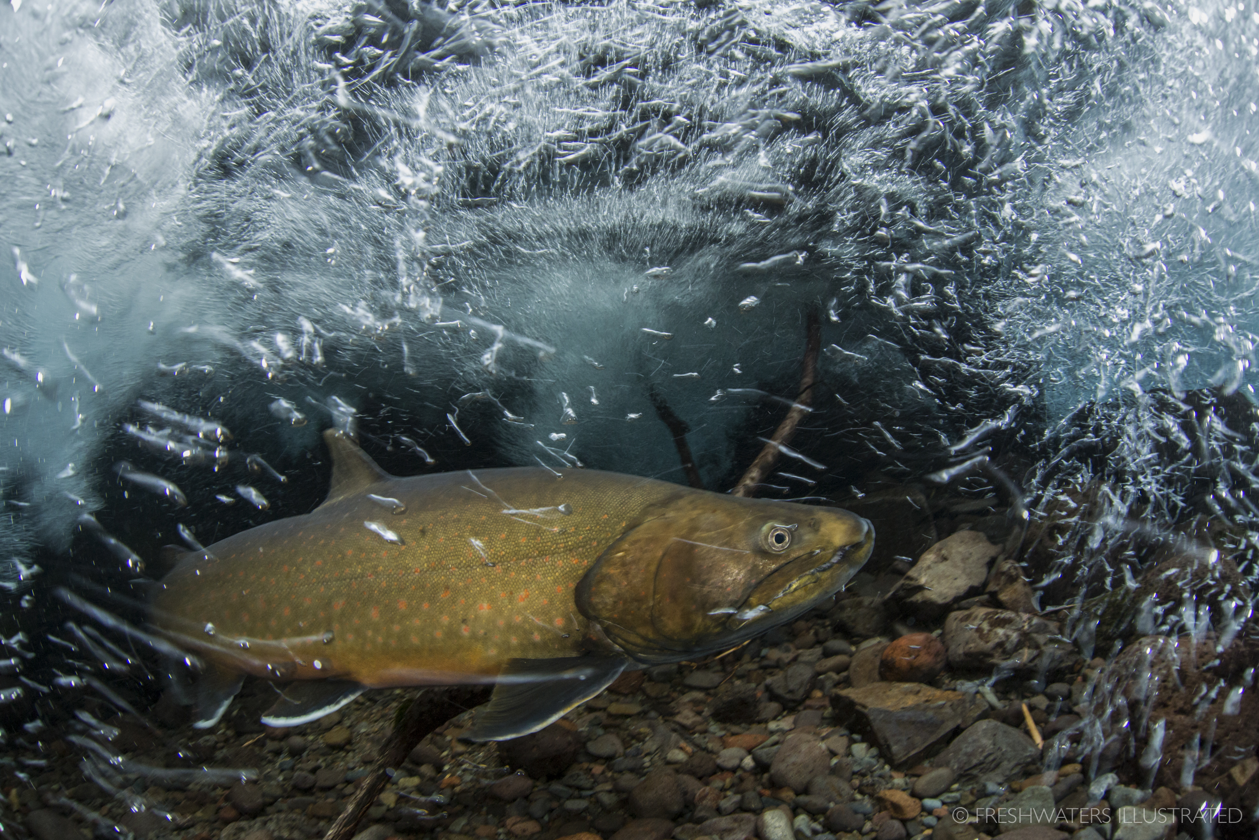 A large male bull trout (Salvelinus confluentus) fights the swift currents of a clear, cold Cascade spring stream. A Federally Threatened species, bull trout require the cleanest and coldest water to persist. Roaring River, Oregon  www.FreshwatersIllustrated.org