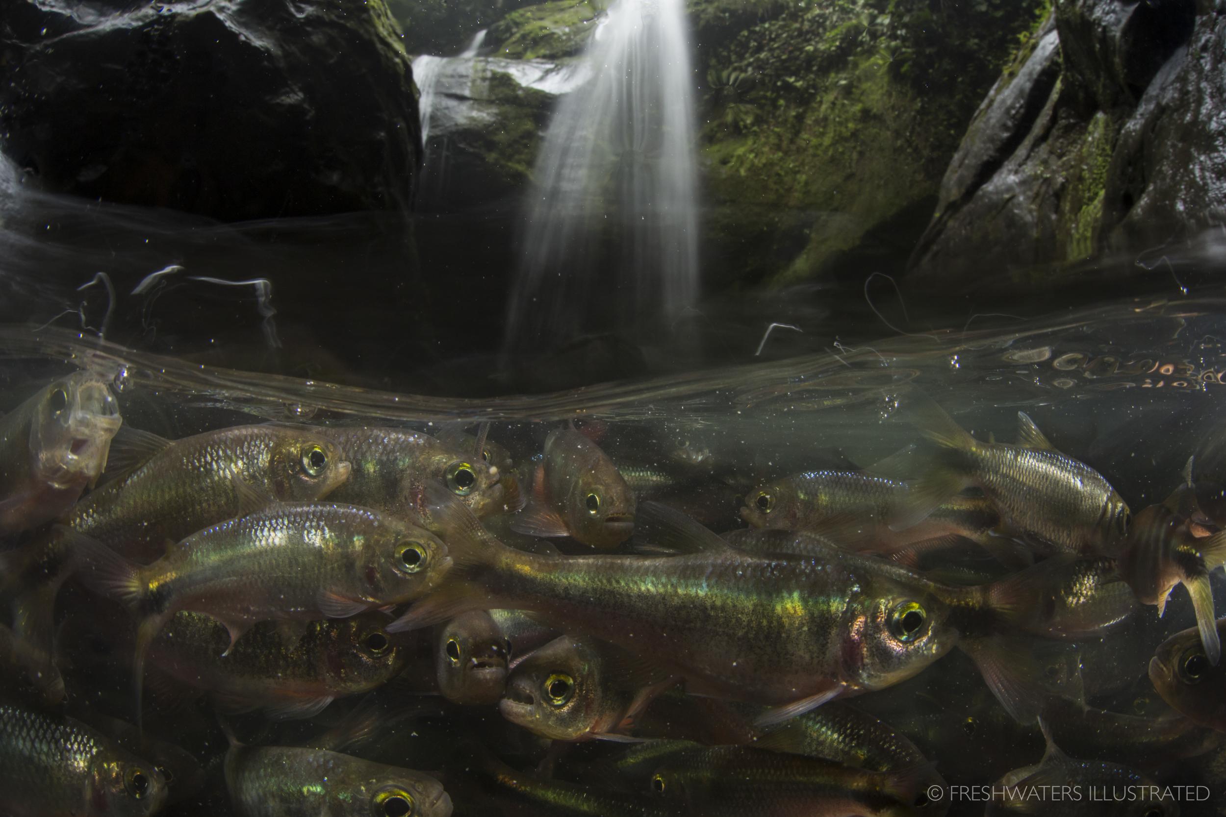 Schooling Creek Tetra (Bryconamericus scleroparius) Rio Carbon, Costa Rica
